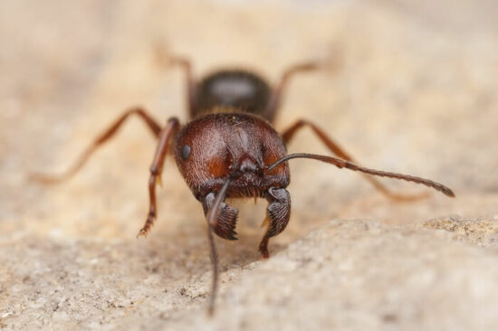 One harvester ant on the ground