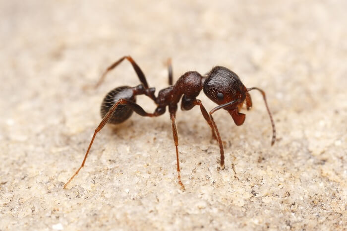 A harvester ant walking by itself