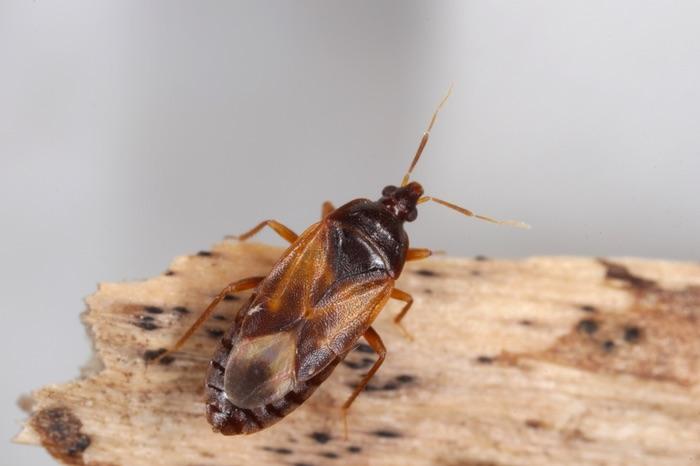 A small black minute pirate bug