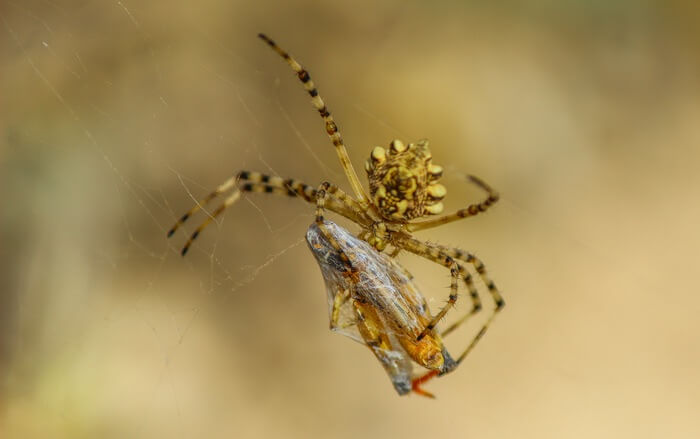 Spider eating an insect that got caught in its web
