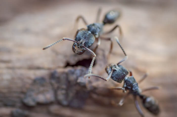 Two carpenter ants walking to a nest