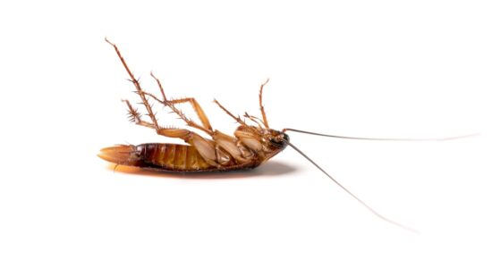 A cockroach after running into something it hates