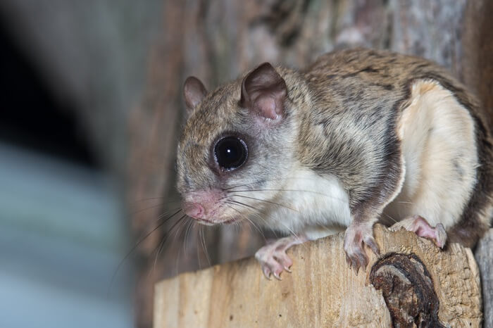 Flying squirrel perched in a tree