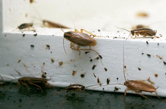 Germain cockroaches climbing on a window