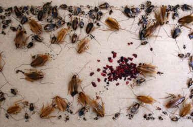 German cockroaches vs American cockroaches