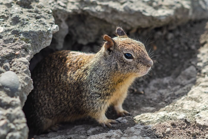 A male ground squirrel before sleeping