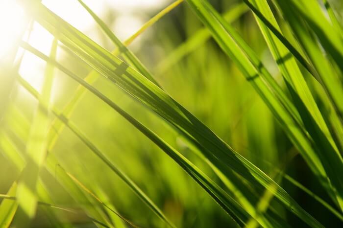 Lemongrass in a garden