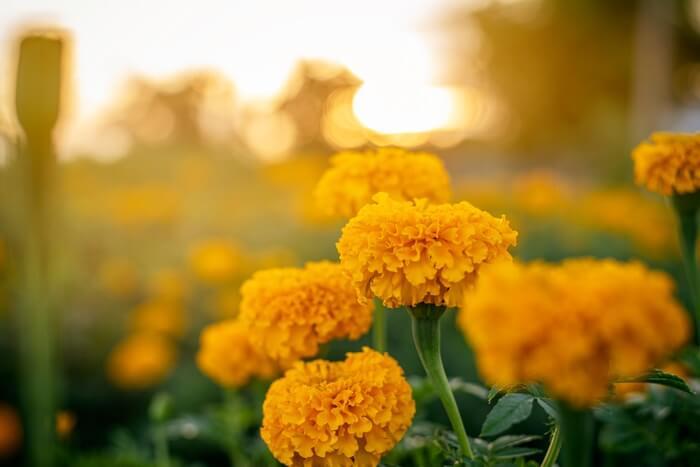 Marigolds in a field