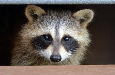 A raccoon living under a deck