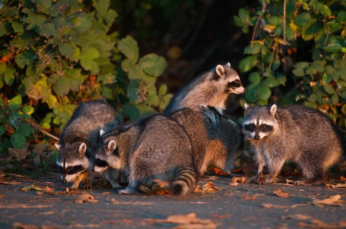 A group of raccoons looking for food