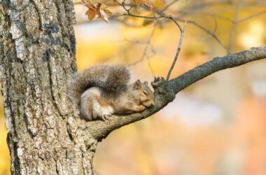 A sleeping squirrel in a tree