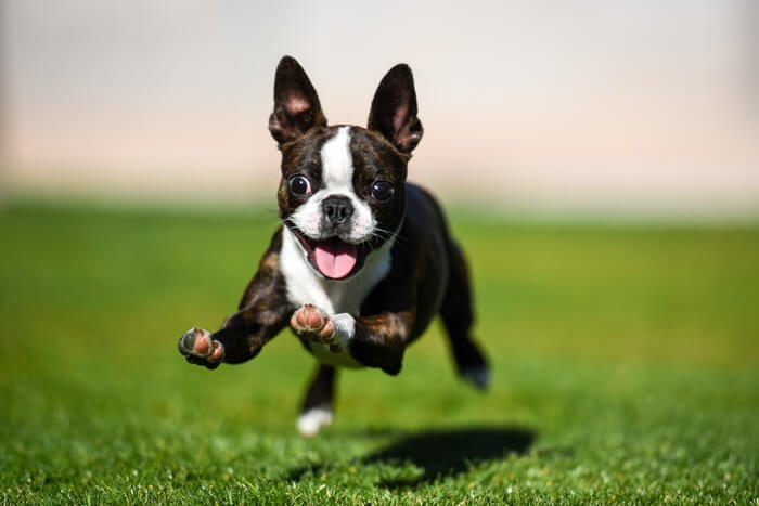 A terrier puppy trying to catch a mouse