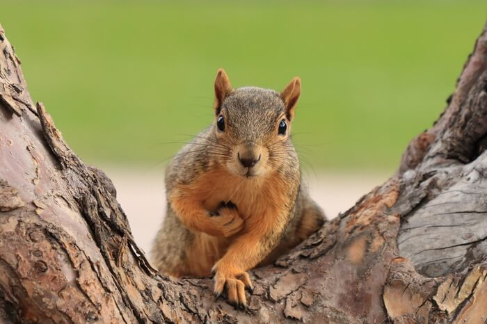 A tree squirrel after resting