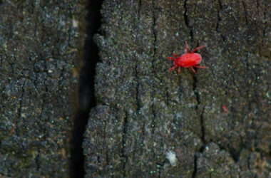 A clover mite walking on a piece of bark