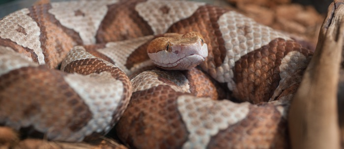 A copperhead snake looking for food