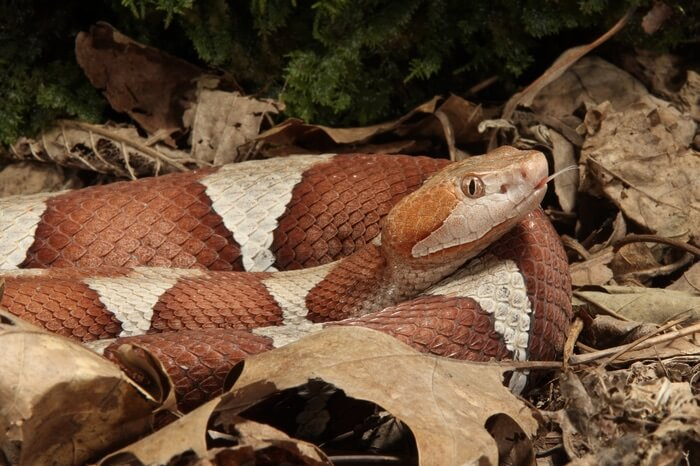 One copperhead snake in a yard