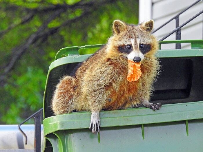 A raccoon in the trash can