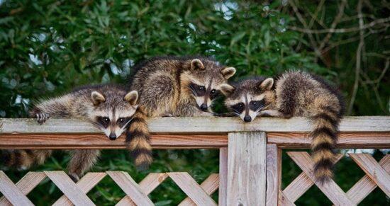 Three raccoons being kept away