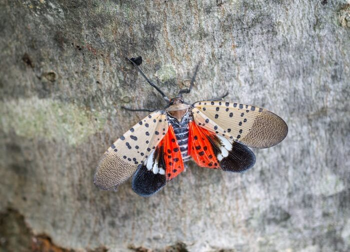 A spotted lanternfly with open wings