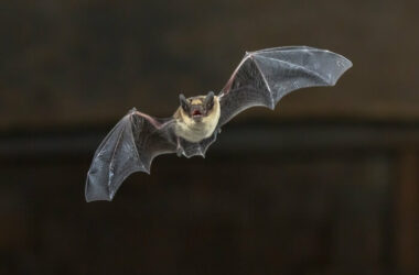 A bat looking for a way to get into a house