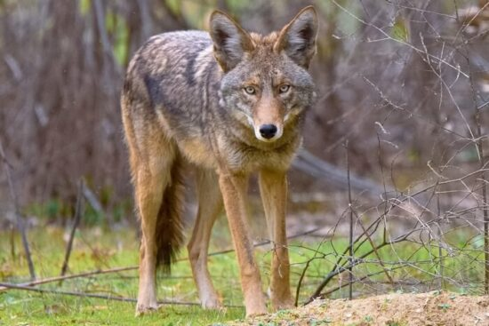 A coyote being kept away from a yard