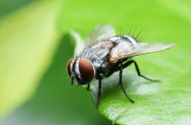 A fly avoiding scents it hates