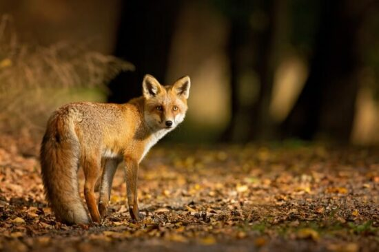 Deterrents keeping foxes away