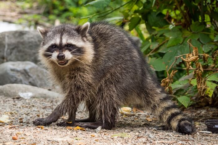 An adult raccoon making a hissing noise