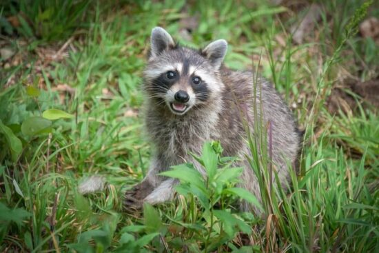 A raccoon making sounds