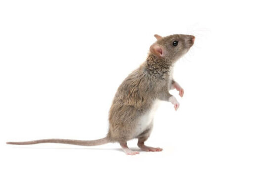 A mouse being kept away by a scent it hates