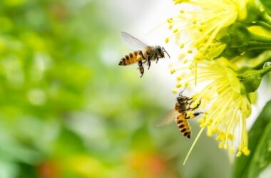 Two bees being repelled by essential oils