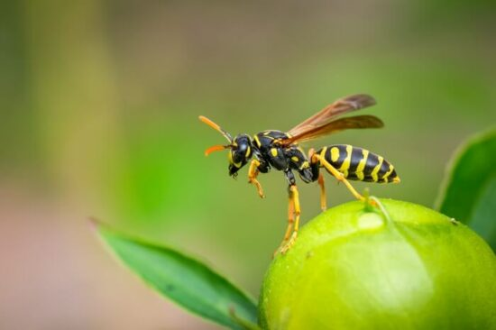 A wasp avoiding a scent it hates